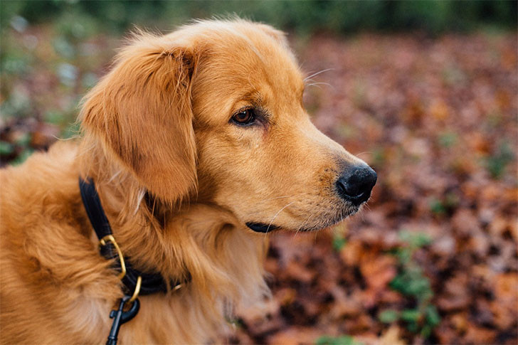 GoldenRetriever728
